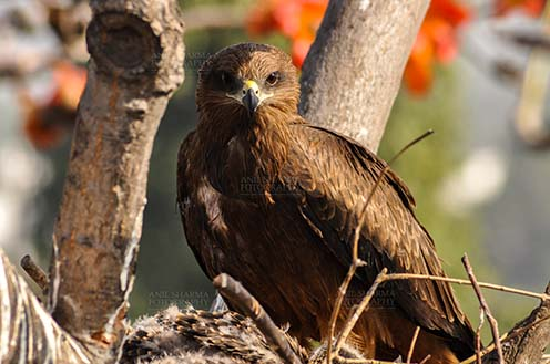 Birds-  Black Kite Milvus migrans (Boddaert) Close-up shot of My Great Mom. by Anil Sharma Fotography