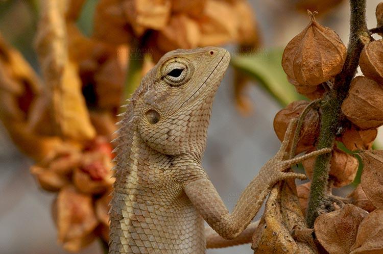 Reptiles- Oriental Garden Lizard Noida, Uttar Pradesh, India- May 18, 2011: Portrait of oriental garden lizard, waiting on a tree branch. Noida, Uttar Pradesh, India by Anil Sharma Fotography