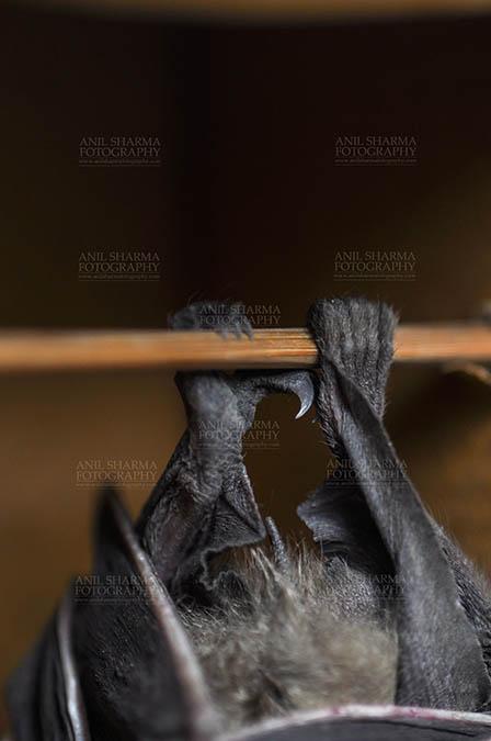 Wildlife- Indian Fruit Bat (Petrous giganteus) Indian fruit bat (Pteropus giganteus) claws, Noida, Uttar Pradesh, India- January 19, 2017: An Indian fruit bat hanging upside down from a limb showing claws at Noida, Uttar Pradesh, India. by Anil Sharma Fotography