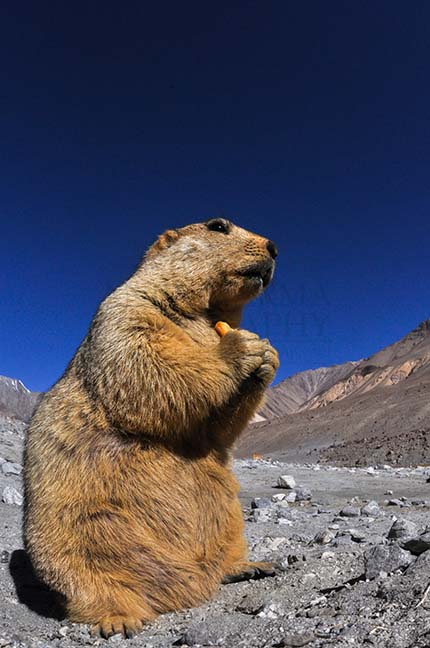 Wildlife- The Himalayan Marmots, J & K (India) A young Himalayan Marmots holding crack jack biscuit with both hands at Leh, Jammu and Kashmir, India. by Anil