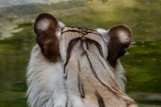 Wildlife- White Tiger (Panthera Tigris) White Tiger, New Delhi, India- June 20, 2018: Close-up of a White Tiger (Panthera tigris) from behind at New Delhi, India. by Anil Sharma Fotography
