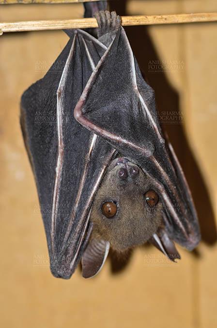 Wildlife- Indian Fruit Bat (Petrous giganteus) Indian Fruit Bats (Pteropus giganteus) Noida, Uttar Pradesh, India- January 19, 2017: hanging upside down showing face detail at Noida, Uttar Pradesh, India. by Anil Sharma Fotography