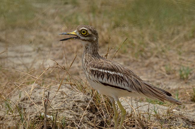 Birds- Eurasian Stone Curlew (Burhinus oedicnemus) Eurasian stone curlew or stone-curlew (Burhinus oedicnemus) at Noida, Uttar Pradesh, India- June 18, 2017: A Female Eurasian stone standing looking right, guarding her nest at Noida, Uttar Pradesh, India. by Anil Sharma Fotography