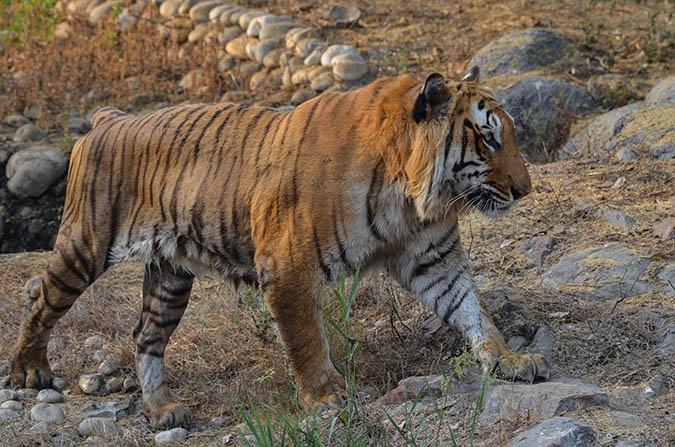Wildlife- Royal Bengal Tiger (Panthera Tigris Tigris) Royal Bengal Tiger, New Delhi, India- April 4, 2018: A Royal Bengal Tiger (Panthera tigris Tigris) roaming at  New Delhi, India. by Anil Sharma Fotography