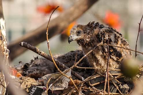 "Birds-  Black Kite Milvus migrans (Boddaert) ""When I was five weeks old"" - Baby black kite by Anil Sharma Fotography"
