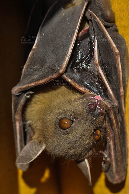 Wildlife- Indian Fruit Bat (Petrous giganteus) Indian Fruit Bats (Pteropus giganteus) Noida, Uttar Pradesh, India- January 19, 2017: Close-up of an Indian fruit bat captive roosting/grooming pose, urinating, licking its urine while hanging upside down at Noida, Uttar Pradesh, India. by Anil
