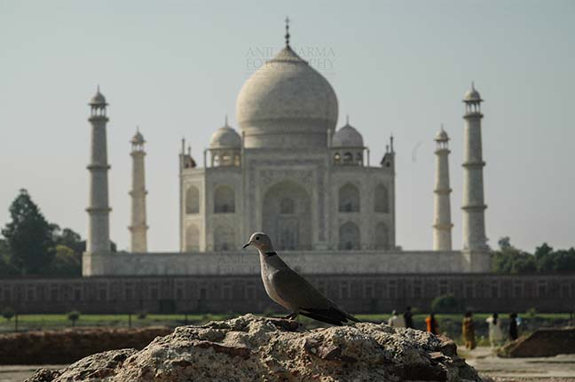 Monuments- Taj Mahal, Agra (India) A Little brown Dove sitting on a mount with Taj Mahal in the background at Agra, India. by Anil Sharma Fotography