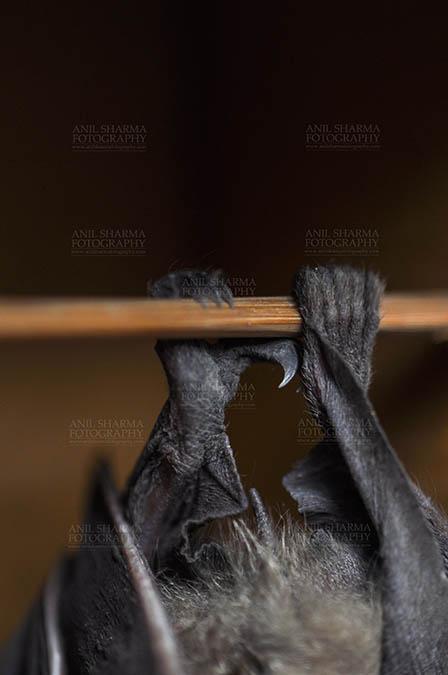 Wildlife- Indian Fruit Bat (Petrous giganteus) Indian fruit bat (Pteropus giganteus) claws, Noida, Uttar Pradesh, India- January 19, 2017: An Indian fruit bat hanging upside down, showing claws at Noida, Uttar Pradesh, India. by Anil