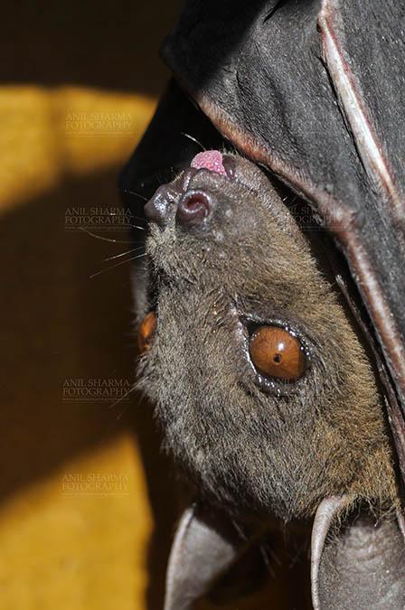 Wildlife- Indian Fruit Bat (Petrous giganteus) Indian Fruit Bats (Pteropus giganteus) Nostrils, Noida, Uttar Pradesh, India- January 19, 2017: Close-up of an Indian fruit bat hanging upside down looking left showing face detail at Noida, Uttar Pradesh, India. by Anil