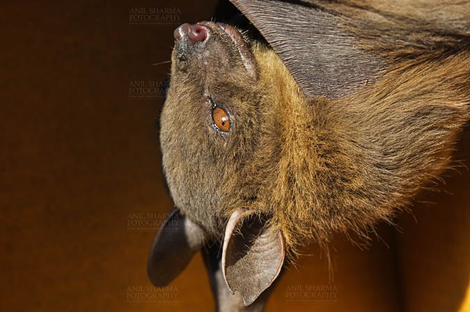 Wildlife- Indian Fruit Bat (Petrous giganteus) Indian Fruit Bats (Pteropus giganteus) Nostrils, Noida, Uttar Pradesh, India- January 19, 2017: Close-up of an Indian fruit bat hanging upside down showing face detail at Noida, Uttar Pradesh, India. by Anil