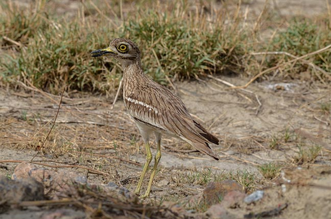 Birds- Eurasian Stone Curlew (Burhinus oedicnemus) Eurasian stone curlew or stone-curlew (Burhinus oedicnemus) at Noida, Uttar Pradesh, India- June 19, 2017: A Female Eurasian stone guarding her nest In a field at Noida, Uttar Pradesh, India. by Anil Sharma Fotography