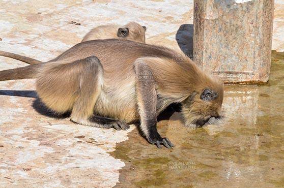 Fairs- Pushkar Fair (Rajasthan) Pushkar, Rajasthan, India- January 16, 2018: A female Grey Langurs (Semnopithecus entellus) drinking water at the Holy Pushkar Sarover, Rajasthan, India. by Anil Sharma Fotography