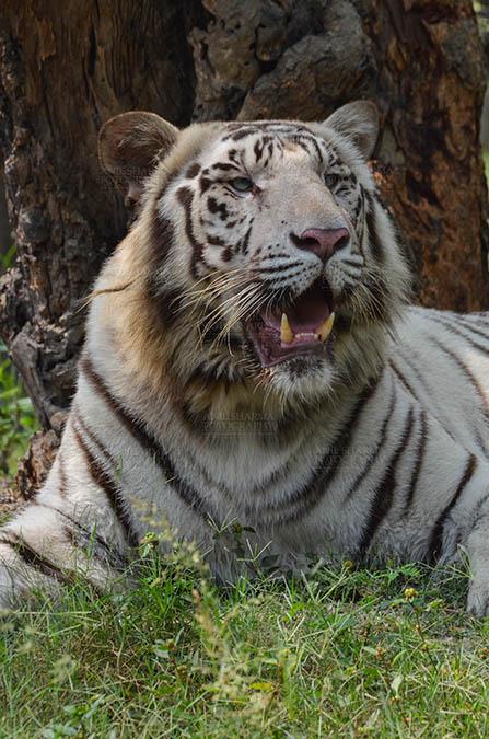 Wildlife- White Tiger (Panthera Tigris) White Tiger, New Delhi, India- April 3, 2018: Portrait of a White Tiger (Panthera tigris) showing its canines at New Delhi, India. by Anil Sharma Fotography