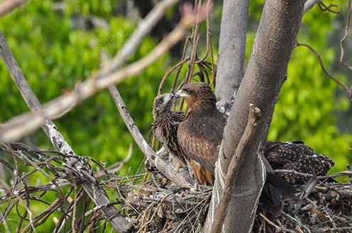 "Birds-  Black Kite Milvus migrans (Boddaert) ""Love you Mom""- Black Kite Chick. by Anil Sharma Fotography"