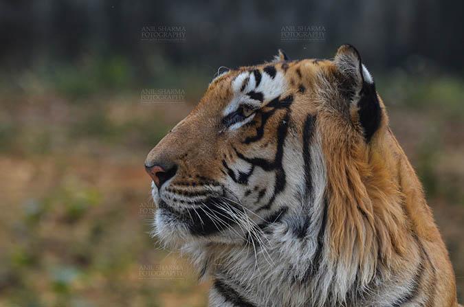 Wildlife- Royal Bengal Tiger (Panthera Tigris Tigris) Royal Bengal Tiger, New Delhi, India- April 5, 2018: Side pose of a Royal Bengal Tiger (Panthera tigris Tigris) at New Delhi, India. by Anil Sharma Fotography