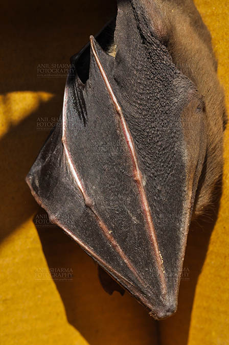 Wildlife- Indian Fruit Bat (Petrous giganteus) Indian Fruit Bats (Pteropus giganteus) Nostrils, Noida, Uttar Pradesh, India- January 19, 2017: Close-up of an Indian fruit bat hanging upside down, body covered with its wings at Noida, Uttar Pradesh, India. by Anil Sharma Fotography