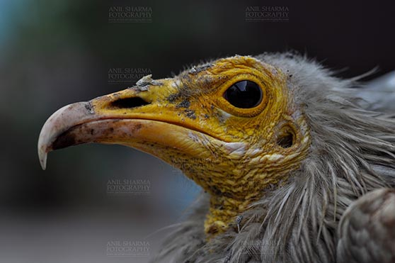 Birds- Egyptian Vulture (Neophron percnopterus) Egyptian vulture, Aligarh, Uttar Pradesh, India- January 21, 2017: Close-up of an adult Egyptian Vulture with dark background at Aligarh, Uttar Pradesh, India. by Anil Sharma Fotography