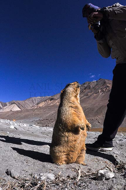Wildlife- The Himalayan Marmots, J & K (India) A tourist taking picture of Himalayan Marmots at Leh. by Anil