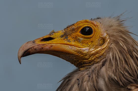 Birds- Egyptian Vulture (Neophron percnopterus) Egyptian vulture, Aligarh, Uttar Pradesh, India- January 21, 2017: Close-up of an adult Egyptian Vulture with blue background at Aligarh, Uttar Pradesh, India. by Anil Sharma Fotography