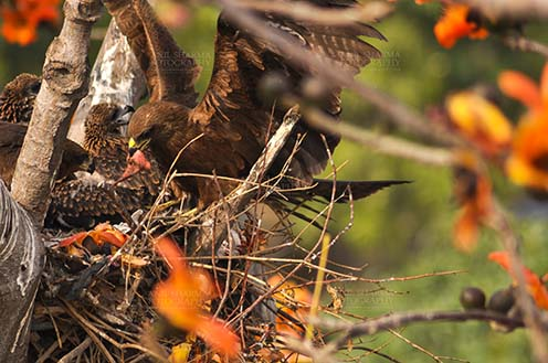 Birds-  Black Kite Milvus migrans (Boddaert) Mom Black Kite with raw meat for hungry chicks. by Anil Sharma Fotography