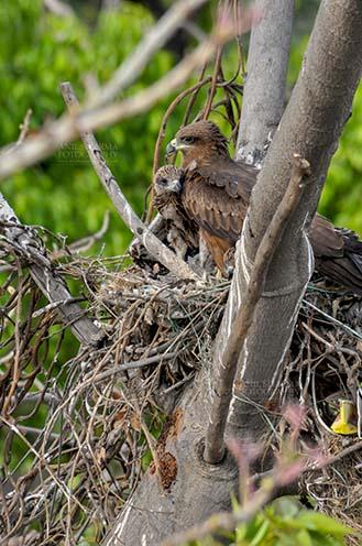 "Birds-  Black Kite Milvus migrans (Boddaert) ""My Mom is the Best""- Black Kite chick. by Anil Sharma Fotography"