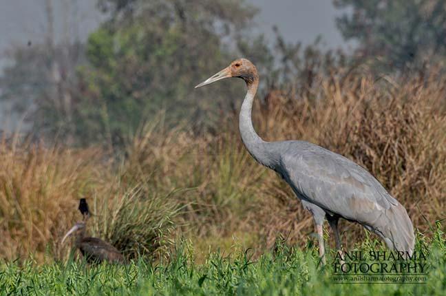 Birds- Sarus Crane (Grus Antigone) Young Sarus Crane, Grus Antigone (Linnaeus) in an agricultural field at Dhanauri wetland, Greater Noida, Uttar Pradesh, India. by Anil