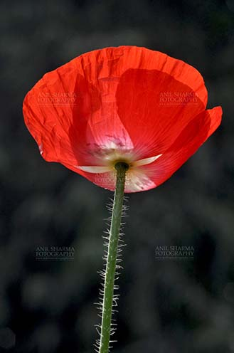 Flowers- Poppy Flowers (Papaver oideae) Beautiful Red Color Poppy (Papaver oideae) flower  with green color background blooming in a garden at Noida, Uttar Pradesh, India. by Anil Sharma Fotography
