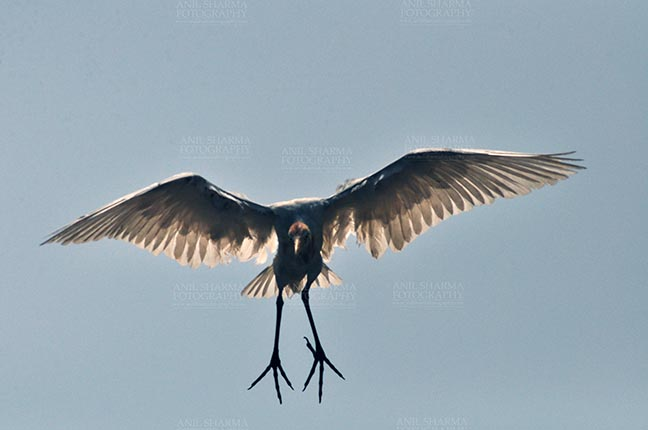 Birds- Cattle Egret (Bubulcus ibis) Noida, India- September 4, 2015: Cattle Egret (Bubulcus ibis) during breeding season landing on a tree for night at Noida, Uttar Pradesh, India. by Anil Sharma Fotography