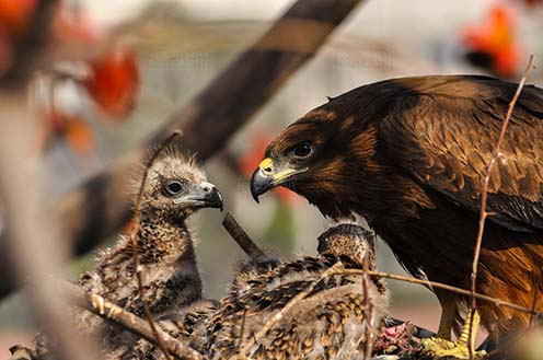 Birds-  Black Kite Milvus migrans (Boddaert) Listening to Mom's Advice. by Anil Sharma Fotography