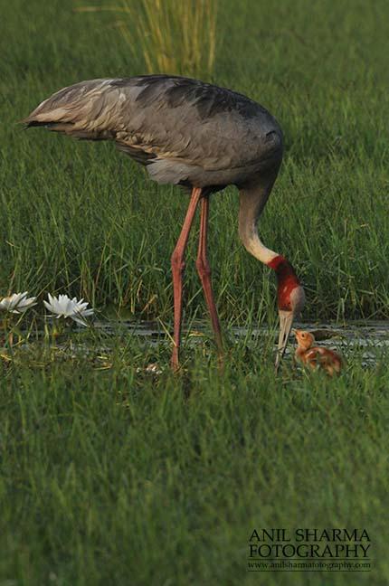 Birds- Sarus Crane (Grus Antigone) Mom Sarus Crane, Grus Antigone (Linnaeus) with her chick at Greater Noida, Uttar Pradesh, India. by Anil Sharma Fotography