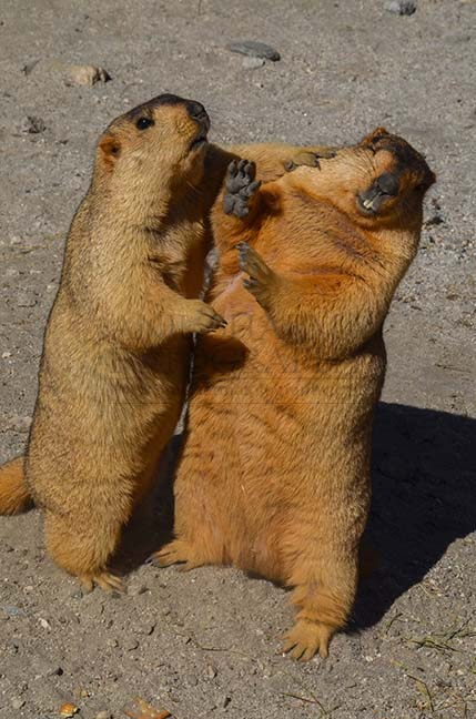 Wildlife- The Himalayan Marmots, J & K (India) Will you marry me ? by Anil