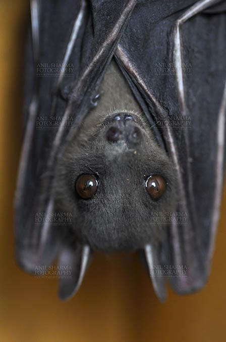 Wildlife- Indian Fruit Bat (Petrous giganteus) Indian Fruit Bats (Pteropus giganteus) Noida, Uttar Pradesh, India- January 19, 2017: Indian fruit bat captive roosting/grooming pose while hanging upside down showing big eyes at Noida, Uttar Pradesh, India. by Anil Sharma Fotography