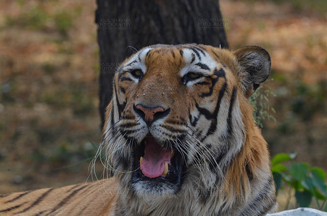 Wildlife- Royal Bengal Tiger (Panthera Tigris Tigris) Royal Bengal Tiger, New Delhi, India- April 5, 2018: Portrait of A Royal Bengal Tiger (Panthera tigris Tigris) at New Delhi, India. by Anil Sharma Fotography