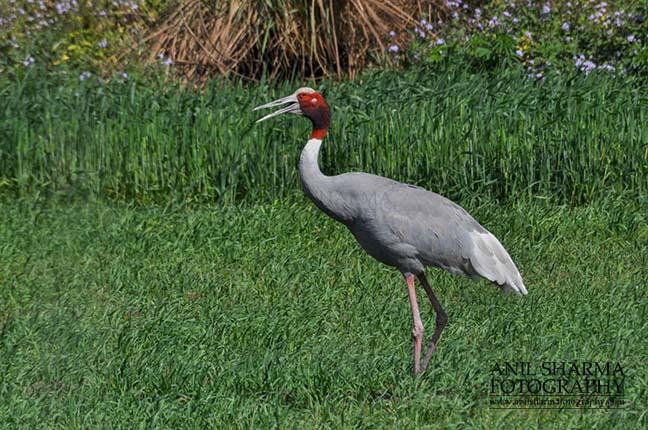 Birds- Sarus Crane (Grus Antigone) A Sarus Crane, Grus Antigone (Linnaeus) in an agricultural field at Dhanauri wetland, Greater Noida, Uttar Pradesh, India. by Anil