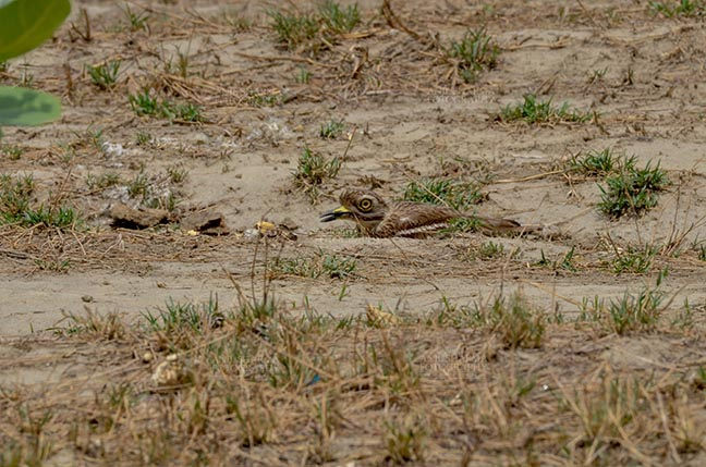 Birds- Eurasian Stone Curlew (Burhinus oedicnemus) Eurasian stone curlew or stone-curlew (Burhinus oedicnemus) at Noida, Uttar Pradesh, India- June 18, 2017: A Female Eurasian stone hideing herself, sitting on the ground at Noida, Uttar Pradesh, India. by Anil Sharma Fotography