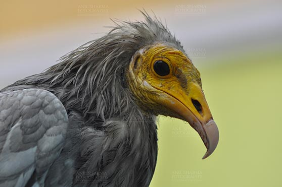 Birds- Egyptian Vulture (Neophron percnopterus) Egyptian vulture, Aligarh, Uttar Pradesh, India- January 21, 2017: Close-up of an adult Egyptian Vulture lwith light green background at Aligarh, Uttar Pradesh, India. by Anil Sharma Fotography