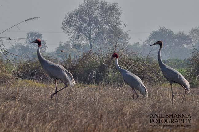 Birds- Sarus Crane (Grus Antigone) A Sarus Crane family, Grus Antigone (Linnaeus) in an agricultural field at Dhanauri wetland, Greater Noida, Uttar Pradesh, India. by Anil