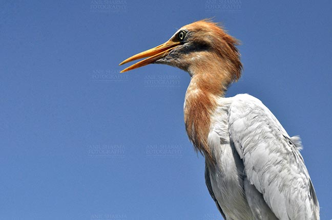 Birds- Cattle Egret (Bubulcus ibis) Noida, India- September 4, 2013: Cattle Egret (Bubulcus ibis) close-up of head during breeding season with orange pullme on its head and back at Noida, Uttar Pradesh, India. by Anil Sharma Fotography