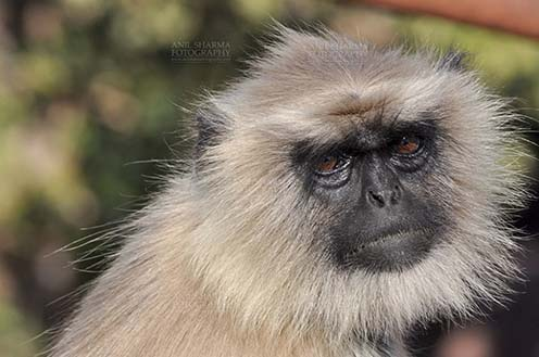 Wildlife- Gray or Common Indian Langur (India) Close-up of an old female black footed Gray Langur (Semnopithecus hypoleucos) sitting on a tree branch at Bhopal, Madhya Pradesh, India. by Anil Sharma Fotography