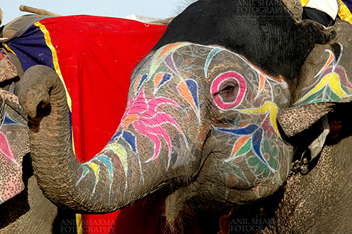 Festivals- Holi and Elephant Festival (Jaipur) A decorated Elephant at Holi and Elephant Festival at jaipur, Rajasthan (India). by Anil Sharma Fotography