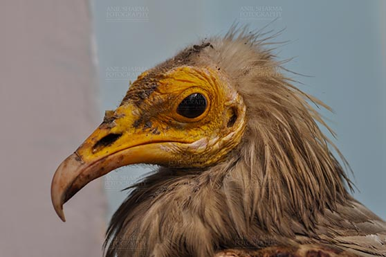 Birds- Egyptian Vulture (Neophron percnopterus) Egyptian vulture, Aligarh, Uttar Pradesh, India- January 21, 2017:  Close-up of an adult Egyptian Vulturewith blue background at Aligarh, Uttar Pradesh, India. by Anil Sharma Fotography