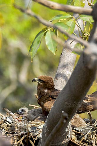 Birds-  Black Kite Milvus migrans (Boddaert) With my Mom, when I was two days old. by Anil Sharma Fotography
