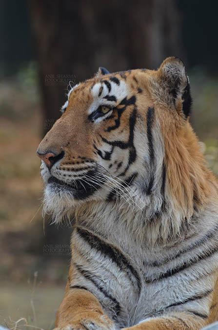 Wildlife- Royal Bengal Tiger (Panthera Tigris Tigris) Royal Bengal Tiger, New Delhi, India- April 5, 2018: Portrait of A Royal Bengal Tiger (Panthera tigris Tigris) at New Delhi, India. by Anil Sharma Fotography