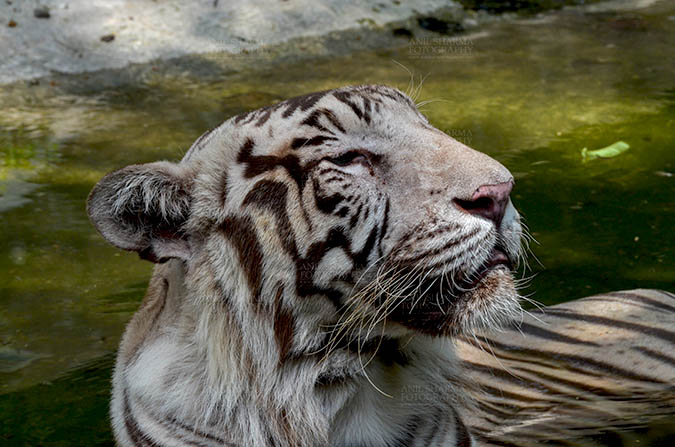 Wildlife- White Tiger (Panthera Tigris) White Tiger, New Delhi, India- June 20, 2018: A White Tiger (Panthera tigris) sitting in a small water pool at New Delhi, India. by Anil Sharma Fotography