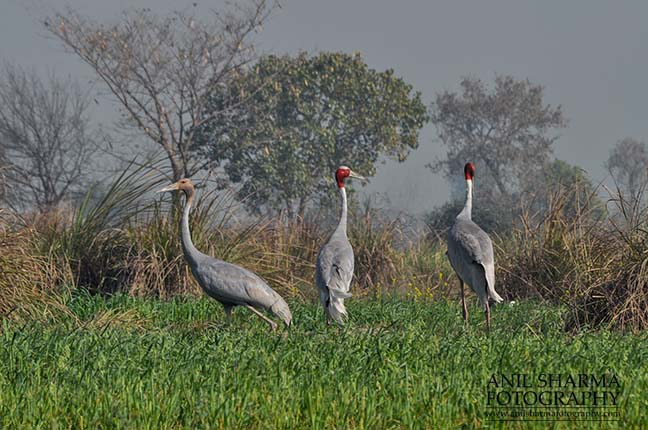 Birds- Sarus Crane (Grus Antigone) A Sarus Crane family, Grus Antigone (Linnaeus) in an agricultural field at Dhanauri wetland, Greater Noida, Uttar Pradesh, India. by Anil