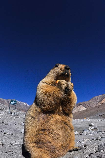 Wildlife- The Himalayan Marmots, J & K (India) A young Himalayan Marmots holding crack jack biscuit with both hands at Leh, Jammu and Kashmir, India. by Anil Sharma Fotography