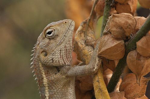 Reptiles- Oriental Garden Lizard Noida, Uttar Pradesh, India- May 18, 2011: Close-up of the head of an Oriental Garden Lizard (Calotes versicolor at Noida, Uttar Pradesh, India. by Anil Sharma Fotography
