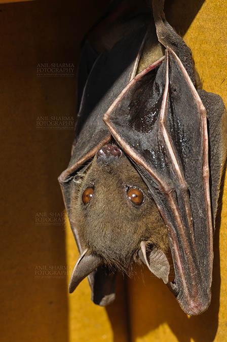 Wildlife- Indian Fruit Bat (Petrous giganteus) Indian Fruit Bats (Pteropus giganteus) Noida, Uttar Pradesh, India- January 19, 2017: Close-up of an Indian fruit bat,urinating, licking its urine while hanging upside down at Noida, Uttar Pradesh, India. by Anil