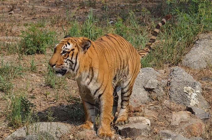 Wildlife- Royal Bengal Tiger (Panthera Tigris Tigris) Royal Bengal Tiger, New Delhi, India- April 3, 2018: A Royal Bengal Tiger (Panthera tigris Tigris) feces at  New Delhi, India. by Anil Sharma Fotography