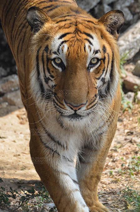 Wildlife- Royal Bengal Tiger (Panthera Tigris Tigris) Royal Bengal Tiger, New Delhi, India- April 3, 2018: A Royal Bengal Tiger (Panthera tigris Tigris) roaming at  New Delhi, India. by Anil Sharma Fotography
